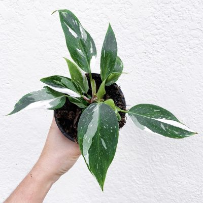 Philodendron White Princess with lots of variegation view from top