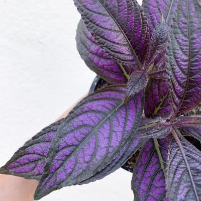 Strobilanthes Persian Shield close up of leaf