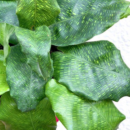 Calathea Musaica close up of leaf pattern