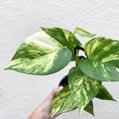 Pothos Goldilocks close up of top leaf
