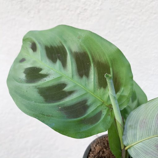 Prayer Plant new leaf