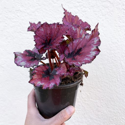 Begonia Rex view from front