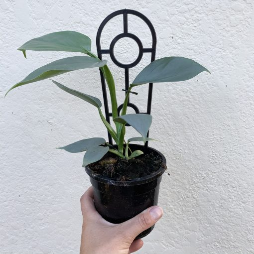 Philodendron Silver Sword view from front