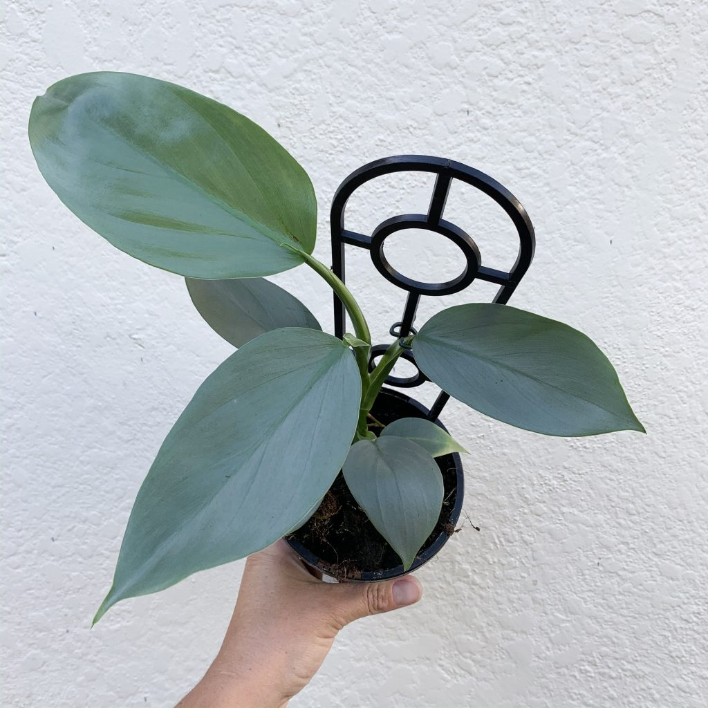 Philodendron Silver Sword view from top