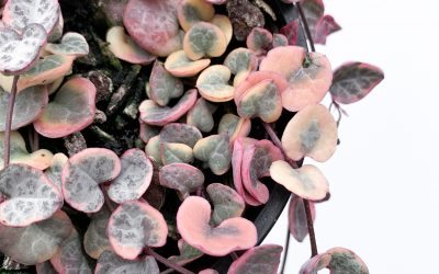 How To Look After Your Chain Of Hearts Variegated plant