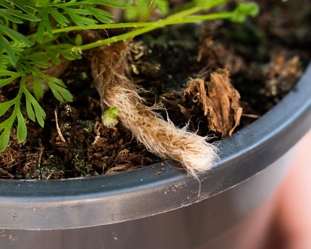 rabbits foot fern macro detail