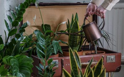 Watering Your Indoor Summer Paradise Of Plants For Luscious Living Decor