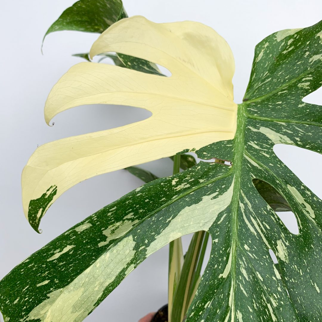 Collecting The Best Indoor And Rare Plants In Melbourne, Australia