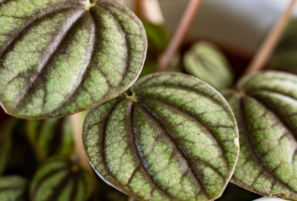 How To Care For Your Peperomia Plants